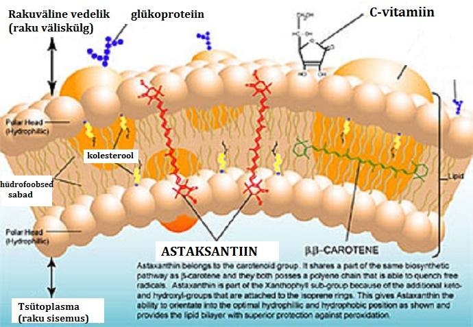 Astaksantiin läbib rakumembraane